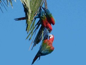 papegoejer i Amazon junglen
