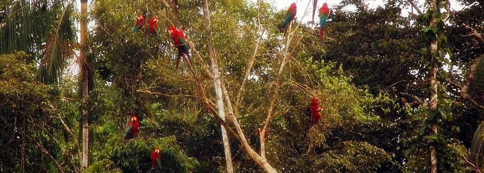 Ara på Amazon Junglen