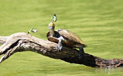 Se skildpadder og mange andre dyr på din Peru rejse i magiske Amazonas.