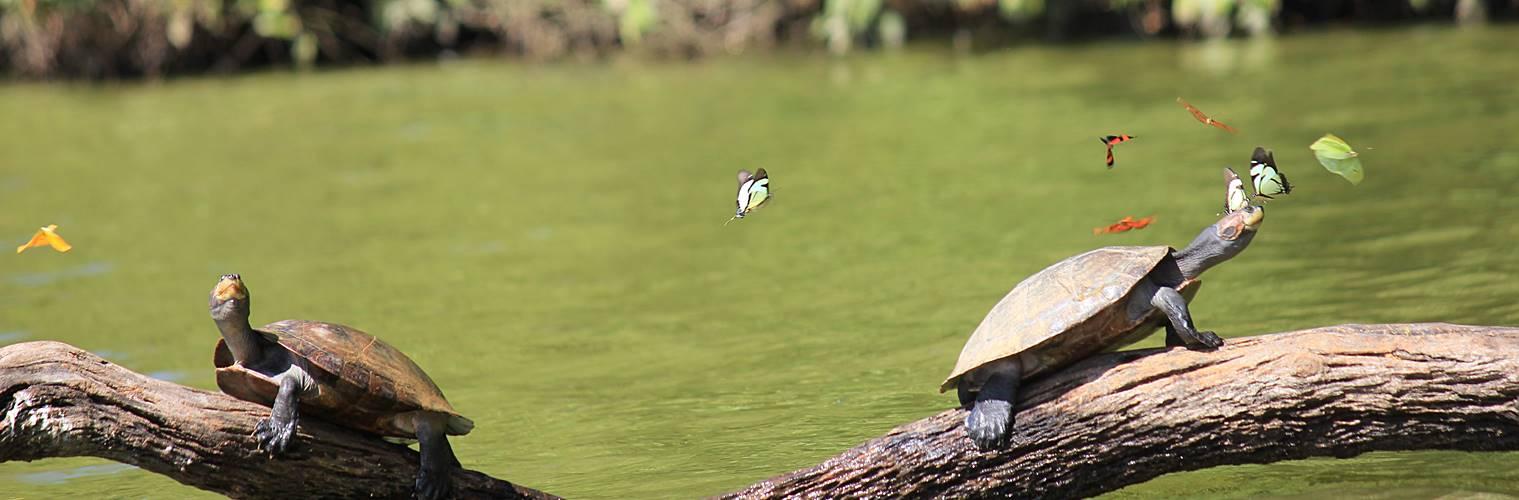 To skildpadder på en gren i Amazonas. Hør om dette og meget mere til dit informationsmøde med Kondor Rejser.