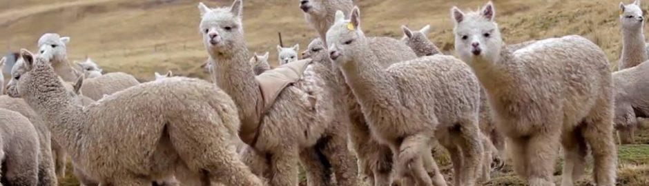 Alpacas Andesbjergene Peru